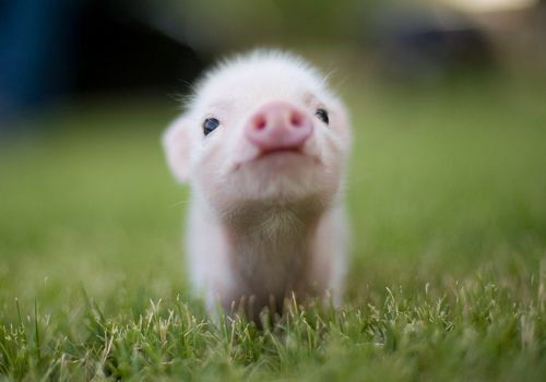 adorable teacup pig